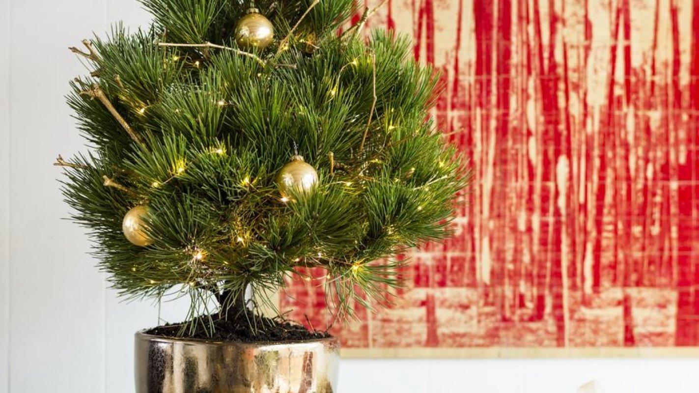 3e8ae12ff3cfd Živý vianočný stromček v kvetináči? | Chovatelahospodar.sk