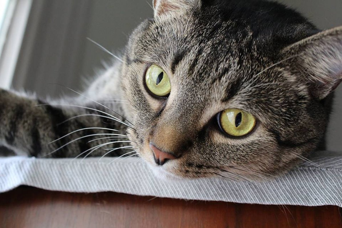 Veľká stará mačička