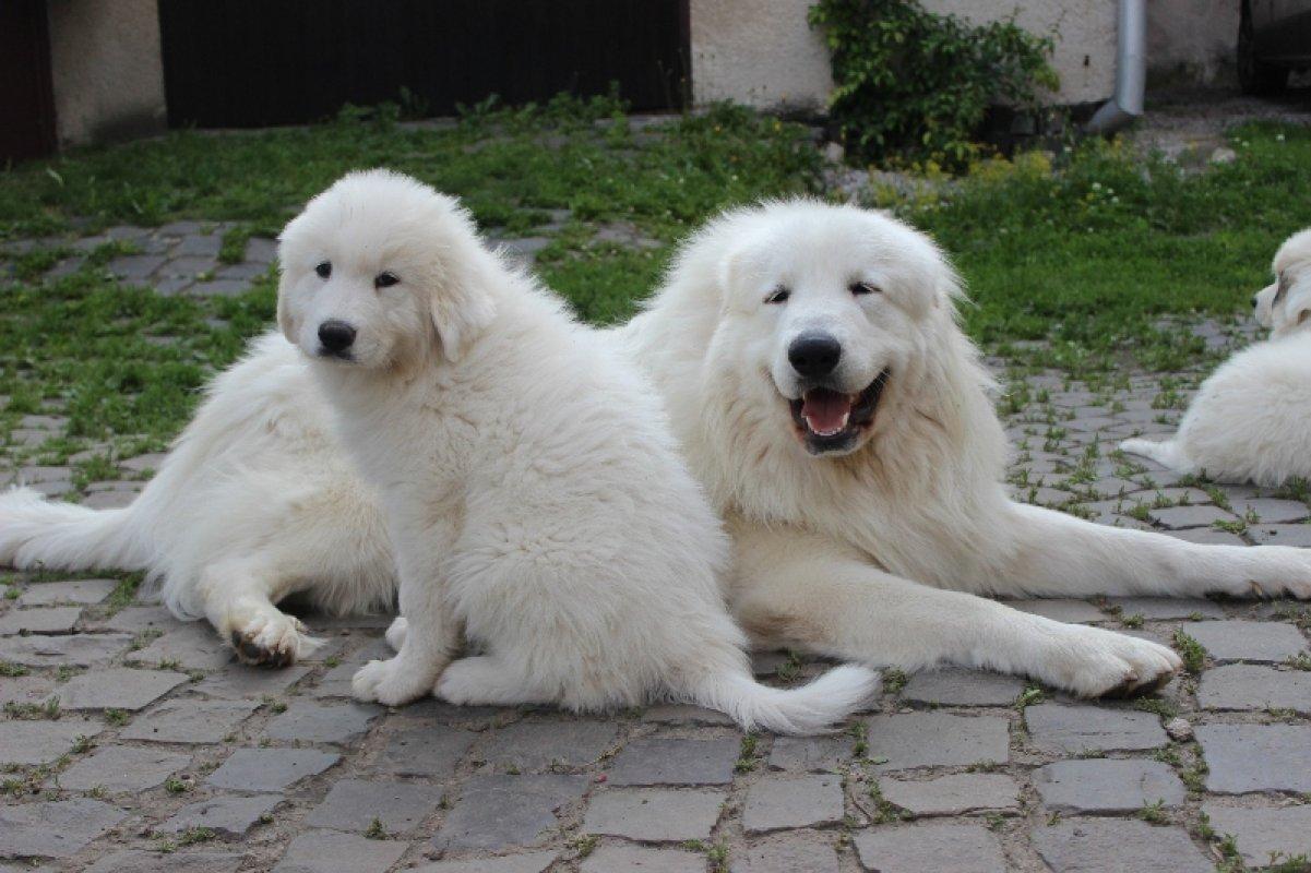 Pyrenejský horský pes, váš elegantný a hrdý ochranca