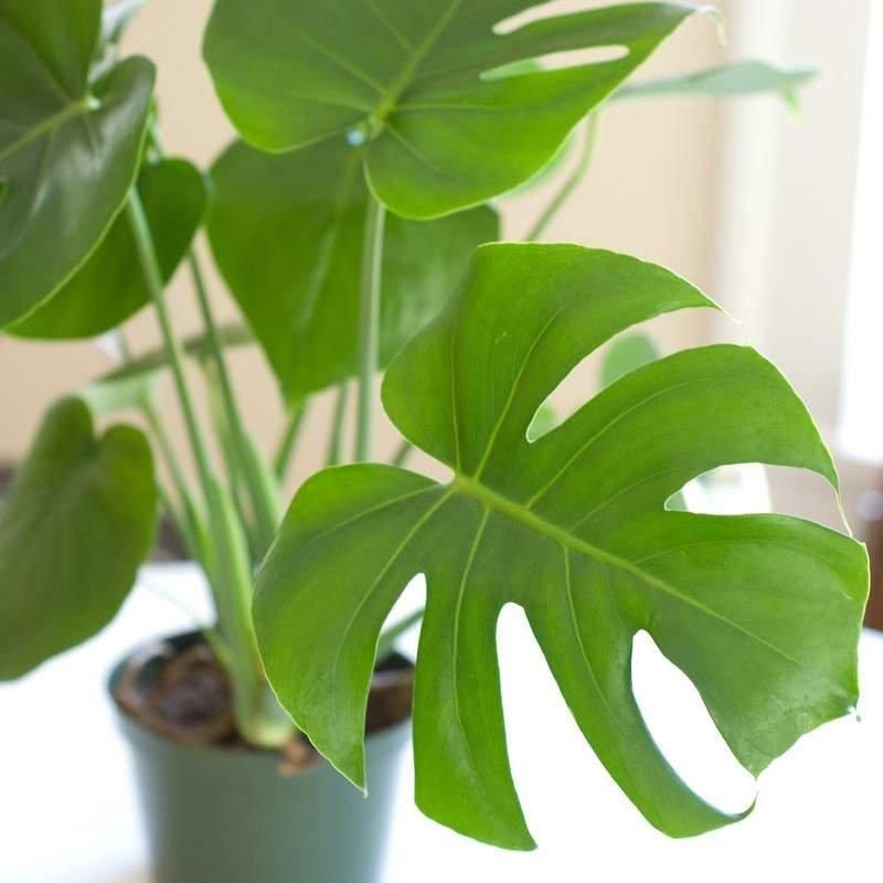 monstera kvet