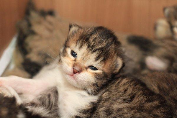 Mačiatko - sibírska mačka e2a68564c78