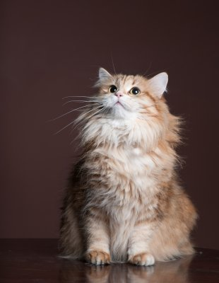 Sibírska mačka felis felicis 0156c3005d3