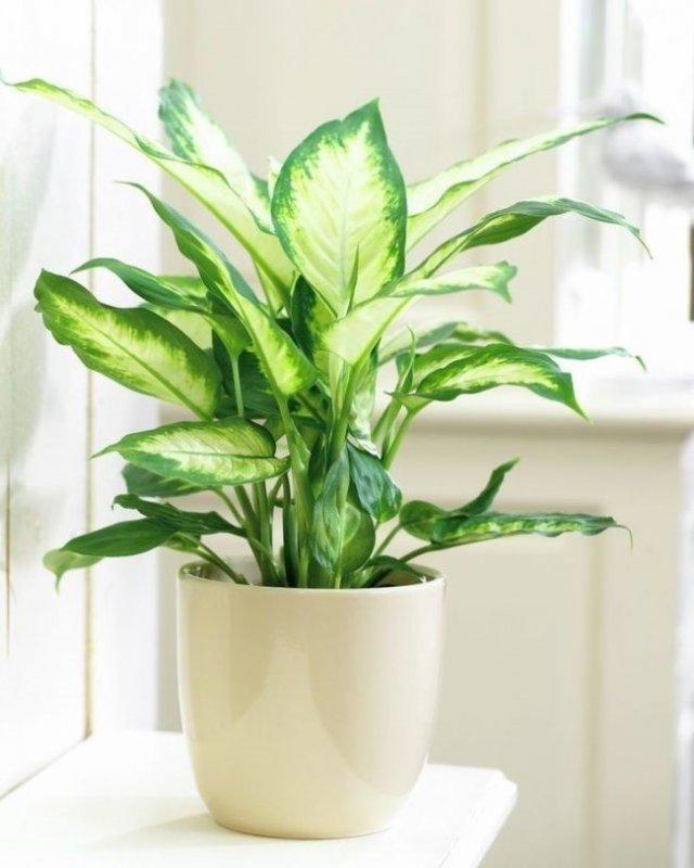 Difenbachia rastliny