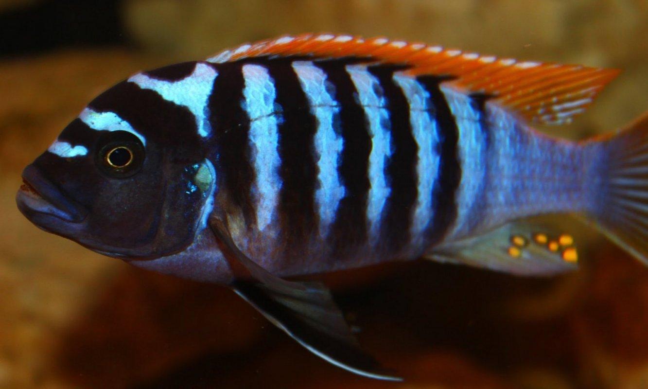 Images of Red Mbuna Cichlids Species - #rock-cafe