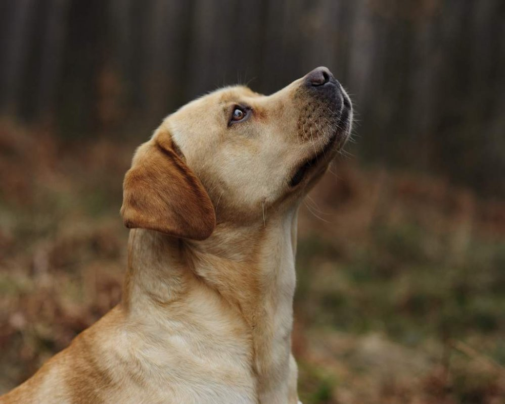 labrador temperament