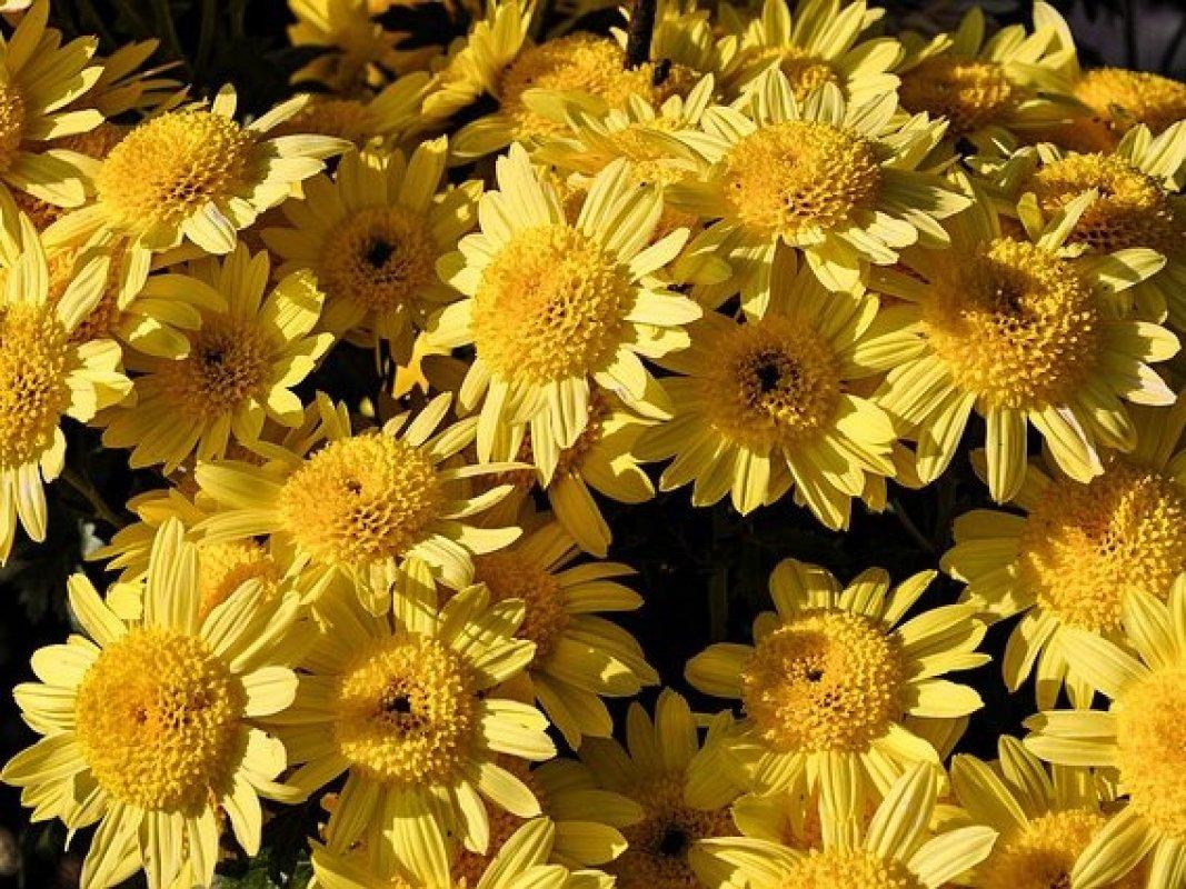 rozmnožovanie chryzantém