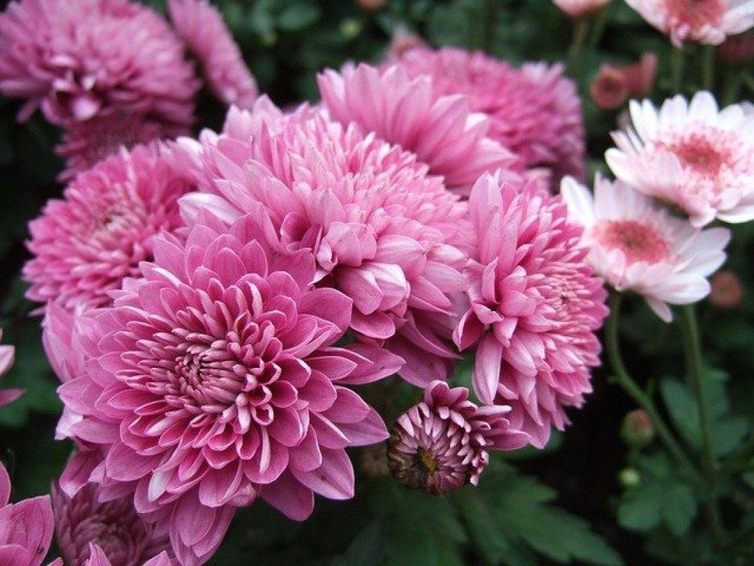 chryzantémy strihanie