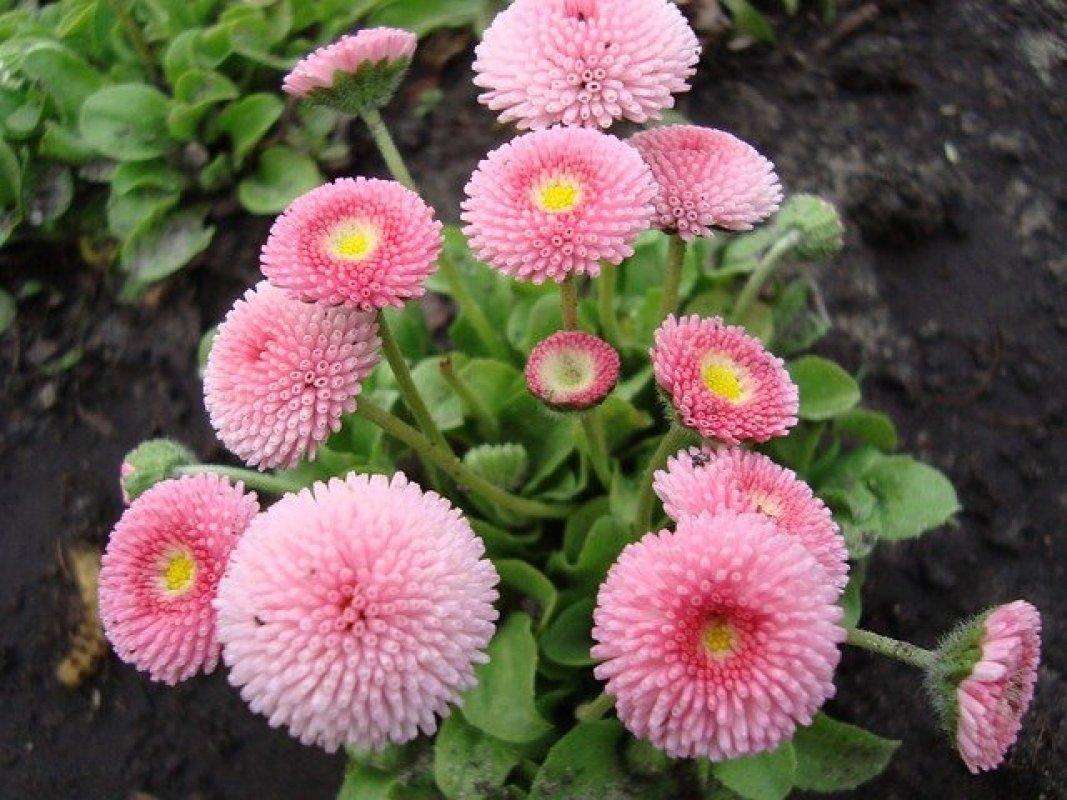chryzantéma druhy