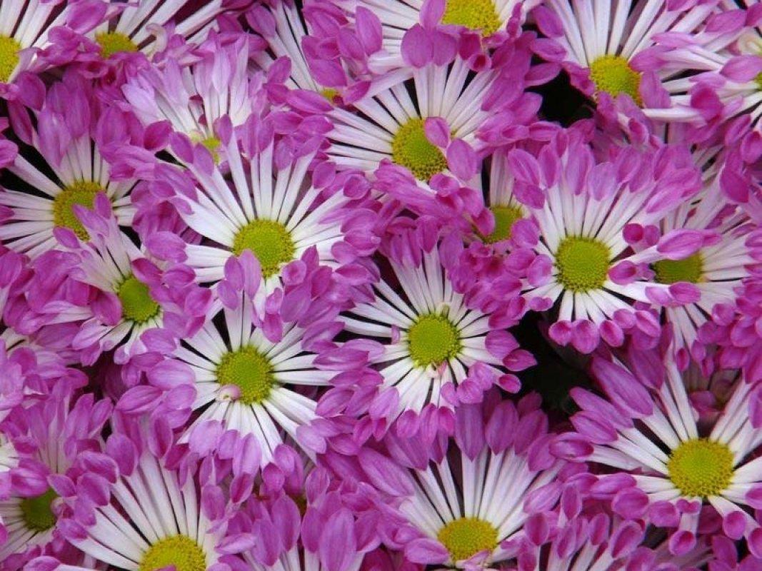 chryzantéma lyžičková