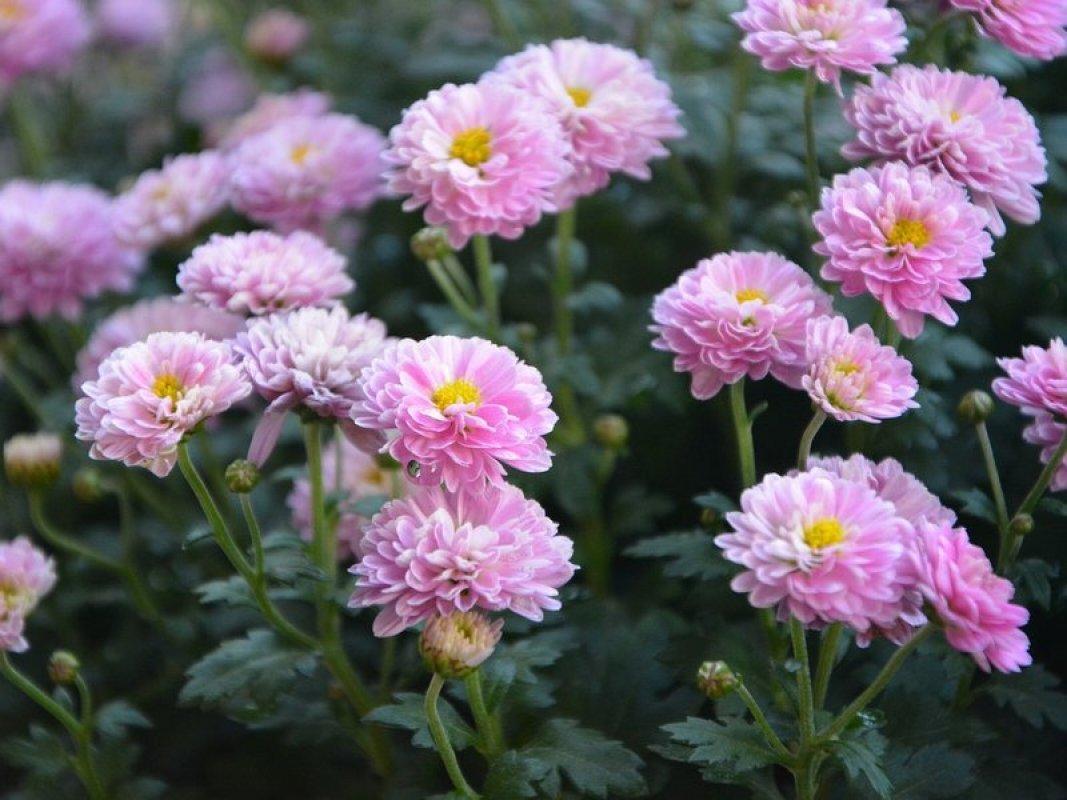 chryzantémy kvety