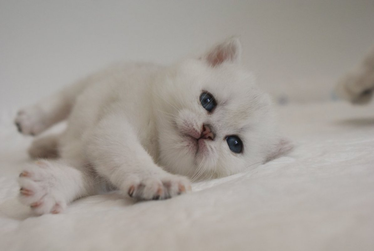 mačiatko britská mačka Mačacie ... d09ee2f7d77