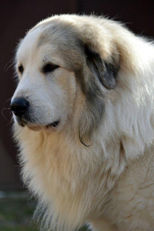 pyrenejský horský pes plemeno