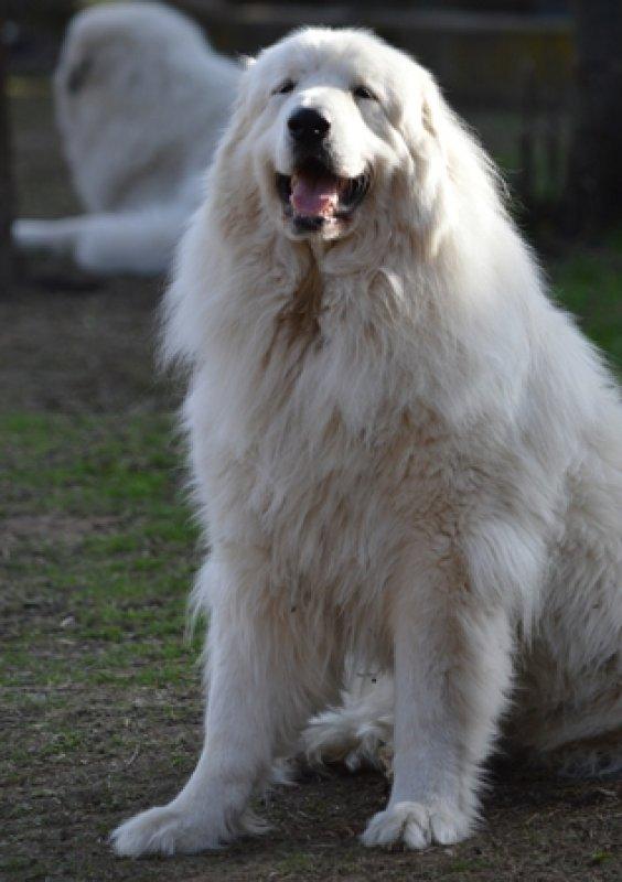 chovateľská stanica pyrenejský horský pes