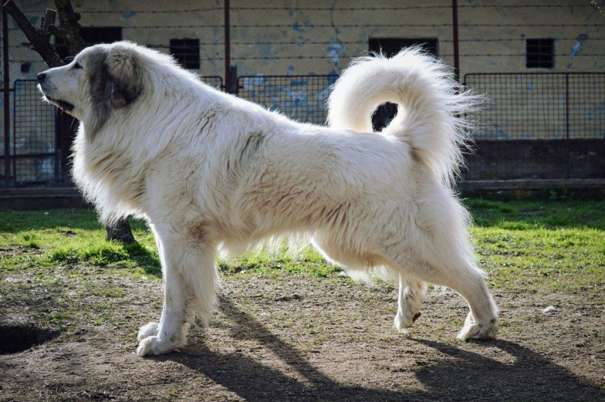 exterier pyrenejský horský pes