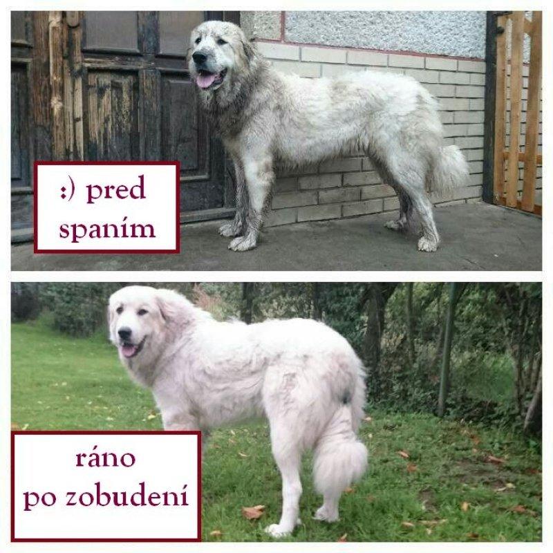 pyrenejský horský pes srsť