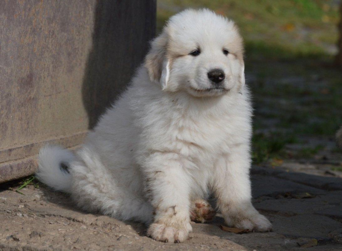šteniatko pyrenejský horský pes